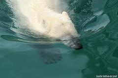 Ijsberen, Wildlands-7555 (Josette Veltman) Tags: zoo arctic ijsbeer icebear emmen dierentuin icebears noordpool roofdier wildlands ijsberen