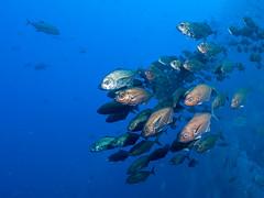 Cottonmouth Jacks Approach (altsaint) Tags: fish jack underwater panasonic socorro gf1 714mm cottonmouthjack