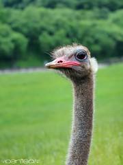 Cabrceno (yiyo4ever) Tags: cabarceno cantabria naturaleza nature grass green animals animales sky cielo verde hierba natural naturalpark zuiko olympus omd em5 m43 ostrich avestruz profundidaddecampo bookeh dof