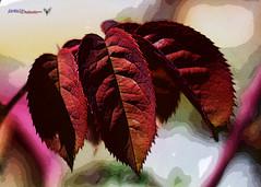 hoja de rosal (joxe@n) Tags: macro hojas rojo nikon nikkor makro rosal matorral aybalaostia nikkor50mmf18g joxen nikond5200 joxenfoto joseantonioandresgomez