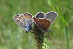 +IMG_9284 Prz ezsts boglrkk (Plebejus argus)_cr (NagySandor.EU) Tags: mating plebejusargus przs boglrkalepke ezstsboglrka boglrkalepkeflk