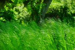 ''He makes me lie down in green pastures...'' (petrapetruta) Tags: green wind spring vivid bokeh fresh
