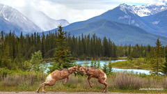 Back off...my pile of dirt....(2) (820-Photography by James Anderson) Tags: bowriver banffnationalpark bighornsheep canadianrockymountains rockymountainwildlife bowvalleyrams bowvalleysheep ramsofbanff
