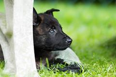 Baby Boy (Maria Zielonka) Tags: daemon dog dogs herder herdershonds hollandseherdershond hollndische hollndischer hund hunde mariazielonkafotografie outdoor photography puppies puppy schferhund schferhunde shooting welpe welpen