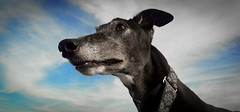 Cooper (aT0Mx) Tags: blue sky dog greyhound black cute animal nose grey ears collar snout
