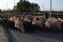 Pereira - Portugal (Carolina Carmela Leopardo) Tags: portugal pastor animais aldeia ovelhas