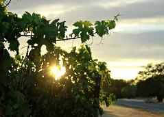 Light and Vines (Dawna Kay) Tags: summer green living vineyard country grapes lodicalifornia