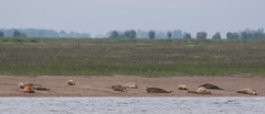 Seals - Boston Belle - Summer 2016 (PontyCyclops) Tags: boston belle river cruise bird watching birdwatching tour the wash south lincs lincolnshire rspb royal society for protection of birds nature wildlife witham mudflats waders harbour seals seal basking