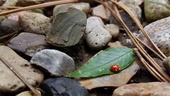 26689931280_b0151d92c7_o (Alec Boychuk) Tags: macro rocks bugs ladybug leafs minature
