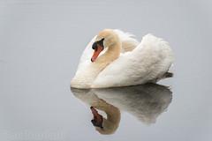 swan (Bart Hardorff) Tags: swan nederland thenetherlands mei alblasserwaard zuidholland zwaan 2016 wijngaarden barthardorff