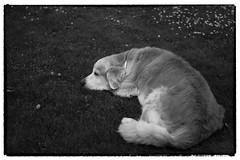 Clover   (in Explore) (Eline Lyng) Tags: leica leicasl aposummicron75mmf2 dog pet animal canine retriever goldenretriever golden rest sleeping grass summer clover littledoglaughedstories littledoglaughednoiret