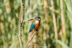 Alcedo Atthis (phat5toe) Tags: kingfisher alcedoatthis birds avian feathers wetland wildlife nature wigan flashes greenheart nikon d300 sigma150500