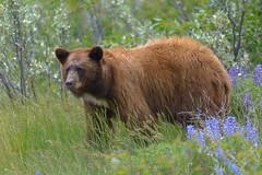 Glacier Black Bear (Bob Bowman Photography) Tags: bear flowers nature animal nationalpark montana wildlife glaciernationalpark grizzly grizzlybear