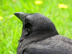 Alright, I Won't Look (Stirrett6) Tags: bird crow northwestern corvid jerichobeachpark