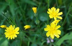 Nipplewort - Lapsana communis (SAMARA: Back in damp Scotland!) Tags: scotland wildflower glentrool nipplewort lapsanacommunis