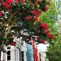 colorful row (ekelly80) Tags: dc washingtondc july2016 georgetown row rowhouses colors street tree flowers pink crepemyrtle