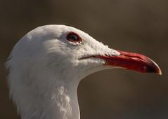 Heermann's Gull (Larus heermanni) (ekroc101) Tags: california birds sandiego shelterisland heermannsgull larusheermanni