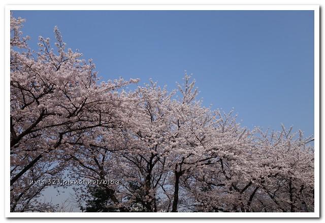여의도벚꽃11