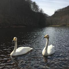 Swan Lake (Håkan Dahlström) Tags: park nature photography se nationalpark skåne sweden national f22 uncropped 747 iphone 2015 söderåsen skäralid skånelän söderåsens iphonephoto iphone6 iphone6backcamera415mmf22 ¹⁄₁₉₀₀sek 9509042015125327