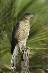 Coopers Hawk (Andrew's Wildlife) Tags: hawk coopers specanimal