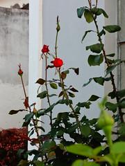 Rosas (biaah_paulla) Tags: brazil flores planta nature beautiful brasil photography flickr sony natureza flor igreja bahia beleza gentiodoouro
