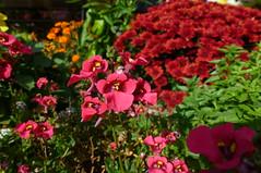 Diascia (dgardenia) Tags: dahlia dog pet macro home garden seeds mums mum frangipani geranium chrysanthemum seedling dahlias alyssum snapdragon diascia nemesia duranta geishagirl durantarepens