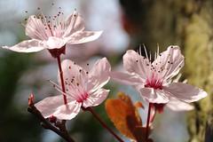 Bloesem (Geziena) Tags: pink sony lente bloesem roze bloem voorjaar sprimg bloeien dschx300