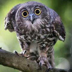 #OwlsLifeSeria #BarkingOwl #BarkingOwlsSeria #GoldenEyesSeria #AltinGozlerSeria #EyesSeria #GozlerSeria #OwlsSeria #BaykuslarSeria #AustraliaBirdsSeria #AustraliaOwlsSeri Least Concern (IUCN 3.1) Scientific classification Kingdom: #AnimaliaSeria Phylum: # (mgavsar) Tags: barkingowl ninoxconnivens eyesseria animaliaseria chordataseria avesseria persembe2015seria owlslifeseria owlsseria baykuslarseria perembeseria strigiformesseria strigidaeseria gozlerseria australiabirdsseria nisan2015seria barkingowlsseria goldeneyesseria altingozlerseria australiaowlsseri ninoxseria ninoxconnivensseria april30nisan2015 nisan30seria persembenisanseria