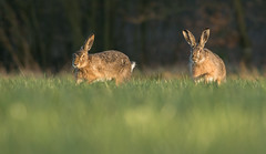 Chasing Brown Hares (Wouter's Wildlife Photography) Tags: nature mammal rodent hare wildlife haas billund chasing marchmadness brownhare lepuseuropaeus pattedyr