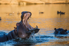 Hippo in Namibia (lucien_photography) Tags: africa sunset wild water animal animals closeup canon gold wildlife safari hippo namibia hippopotamuses namibie markiii 100400 hippopotamidae canon5dmarkiii 5dmarkiii