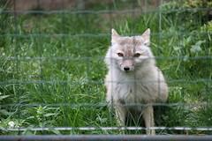 A Cute Corsac Fox (praja38) Tags: life wild paris france cute nature animals fence fur asian mammal zoo europe european wildlife teeth tail canine fox predator capricorn mnagerie corsacfox mnageriedujardindesplantes