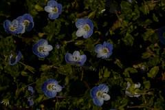 roosevelt center, veronica persica speedwell, jdy093 XX201104038877.jpg (rachelgreenbelt) Tags: usa maryland northamerica greenbelt americas midatlantic floweringplants princegeorgescounty plantaginaceae magnoliophyta eudicots lamiales asterids plantainfamily rooseveltcenter orderlamiales midatlanticregion plantaginaceaefamily spermatophytes veronicaall lamialesorder antirrhinaceaepers aragoaceaeddon callitrichaceaelinknomcons chelonaceaemartinov digitalaceaemartinov ellisiophyllaceaehonda globulariaceaedcnomcons gratiolaceaemartinov hippuridaceaevestnomcons littorellaceaegray psylliaceaehoran sibthorpiaceaeddon veronicaceaecassel asteridsclade veronicapersicaspeedwell