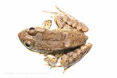 Green Frog (Rana [Lithobates] clamitans) (DaveHuth) Tags: ny amphibian dorsal houghton overhead greenfrog myn ranaclamitans farmpond anuran