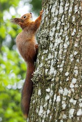 Hanging on (BlizzardFoto) Tags: tree animal squirrel wildlife climbing puu chill loom hangingon orav elusloodus roniv kinnihoides