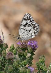 Balkan Marbled White (Melanargia larissa) (beaconschris) Tags: butterfly fuji tube hellas butterflies lepidoptera greece extension 50230mm