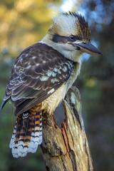 Kookaburra 3 (wildharps) Tags: morning camping bird beach nature wildlife feathers kookaburra