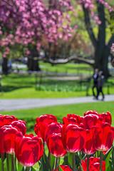 Spring in Boston (Explored) (marypink) Tags: trees usa primavera boston america garden spring focus tulips pov massachusetts silhouettes bostonpublicgarden 70300mmf456 tulipani nikond7200