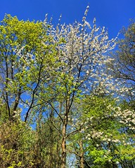 Spring In The Forest (Marc Sayce) Tags: park tree forest downs spring oak alice south blossoms hampshire surrey national holt horn bucks bentley farnham the in wrecclesham blacknest