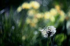 In the long grass II (GillK2012) Tags: uk nature spring bokeh dandelion backlit wildflower