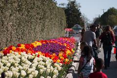 Tulip Fest (1 of 26) (evan.chakroff) Tags: flowers festival washington spring unitedstates tulips tulip april mountvernon tulipfestival mtvernon roozengaarde 2016
