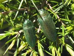 Perotis unicolor (Costan E) Tags: coleoptera unicolor buprestidae perotis