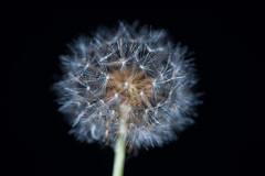 Seeds (Geoff Blondahl) Tags: nikon dof dandelion 500 dandelionseeds project365 d810