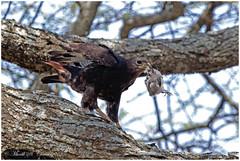 The Hunting Buzzard! (MAC's Wild Pixels) Tags: tanzania ngc raptor hunter buzzard birdofprey wildbird augurbuzzard ngorongoroconservationarea wildafrica birdsofeastafrica ndutuplains macswildpixels thehuntingbuzzard