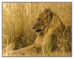 Nestled in the grass (Crested Aperture Photography) Tags: africa nationalpark lion greatlakes uganda lioness ug eastafrica queenelizabethnationalpark centralafrica leopanthera africanwild