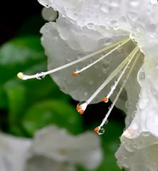 Rain drops (TEO DE THUONG) Tags: flower macro rain nikon outdoor ngc drop d750 droplet soe raindrop twop macrophotography artofimages macrodreams naturebynikon