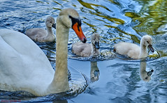DSC00453_G+_1500 (bianka.spindler) Tags: park reflection water river spring swan gm wasser sony mm vgel fluss baden schwan 90 spiegelung frhling pforzheim schwne wrttemberg enz enzauenpark a7r