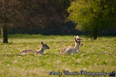 2016-05-04-026 (Andy Beattie Photography) Tags: uk england nature mammal photography europe photographer wildlife yorkshire deer fallowdeer halifax ungulate northyorkshire westyorkshire ripon eventoed pecora damadama hoofed andybeattie andybeattiephotography