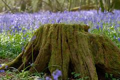 20160505-_DSF2935.jpg (ClifB) Tags: flower spring may dorset bluebell 2016 rspb garstonwood rspbreserve