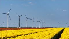 Windmolens en tulpen (Hans van Bockel) Tags: photoshop nikon raw nef explore nik noordoostpolder cr bollen overijssel urk tulpen molens kleur windmolens velden nikcolorefex 1680mm d7200