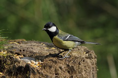 great tit (david.england18) Tags: blue tits great coal various greattit smallbirds longtailed canon7d
